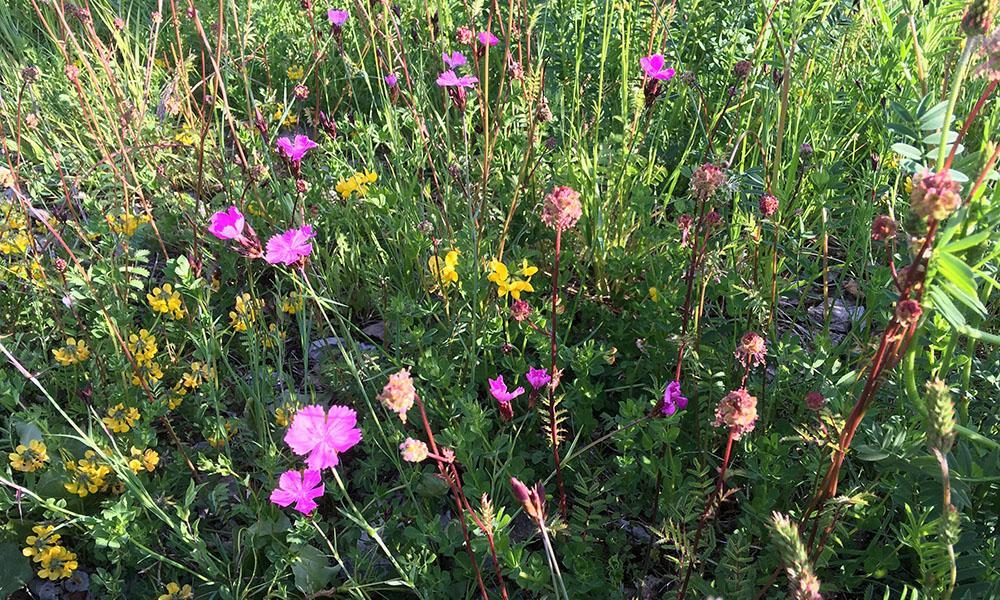 Wildblumen liefern Nahrung für Insekten.