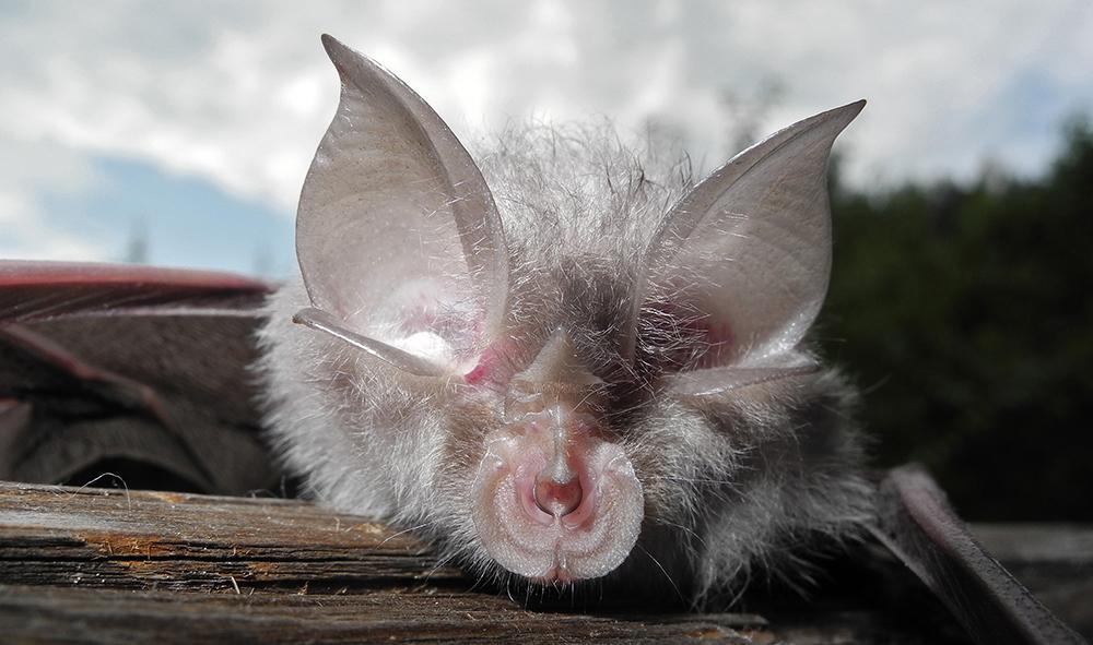 Überträger des Corona-Virus: die Fledermaus