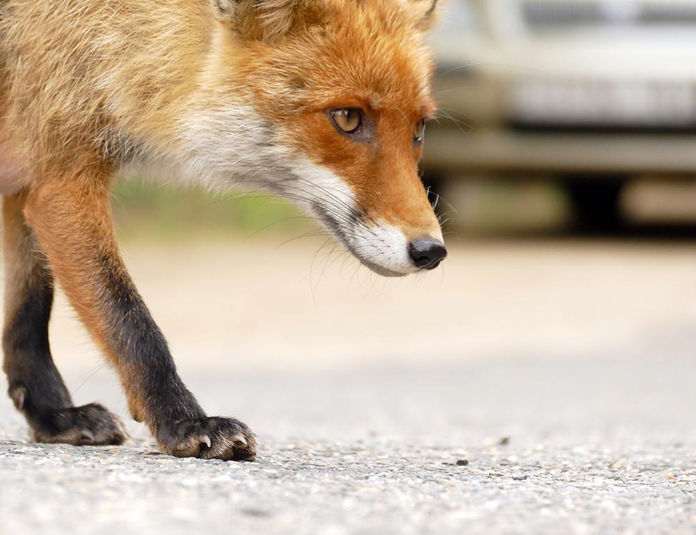 Wildtiere streifen durch die Straßen: Corona