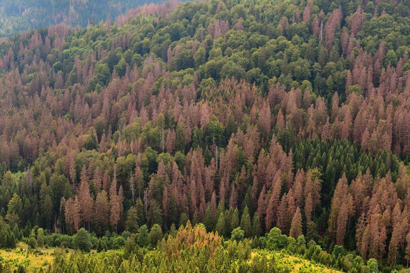 Wasserknappheit führt zum Absterben der Bäume