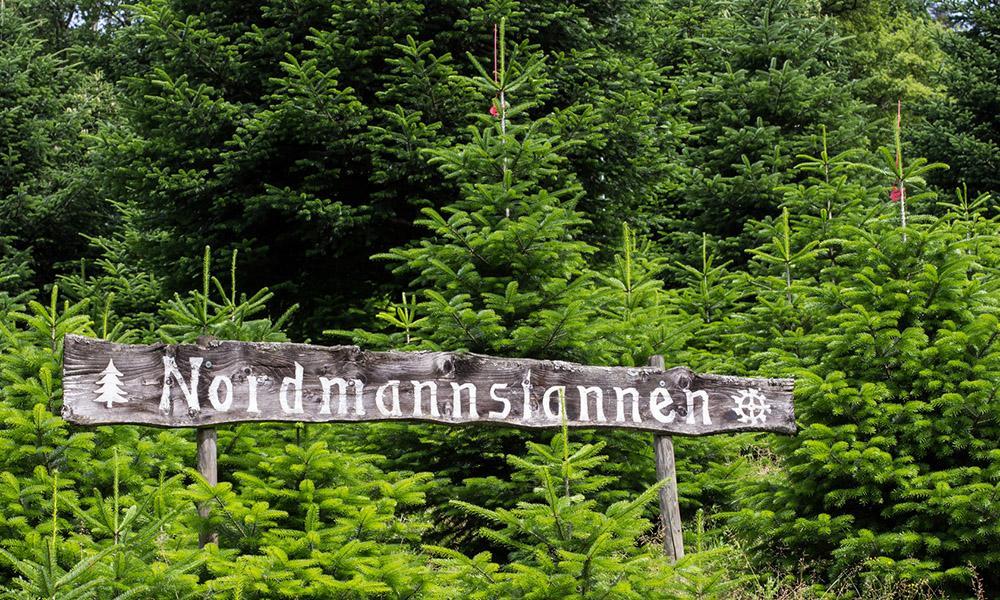 Weihnachtsbaum Kultur Nordmanntannen