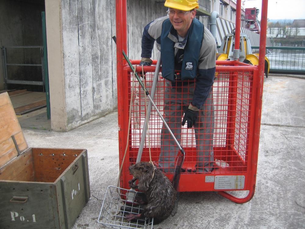 Ein Energiedienst-Mitarbeiter hält einen Biber in einem Köcher.