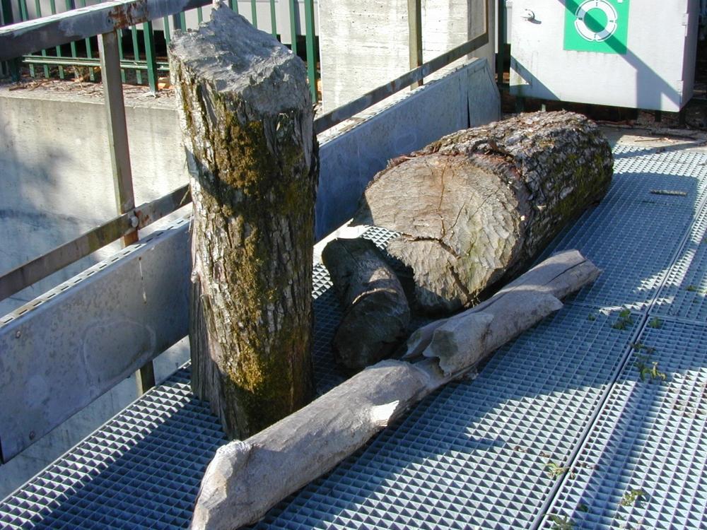 Von einem Biber angenagte Baumstämme liegen auf einem Haufen.